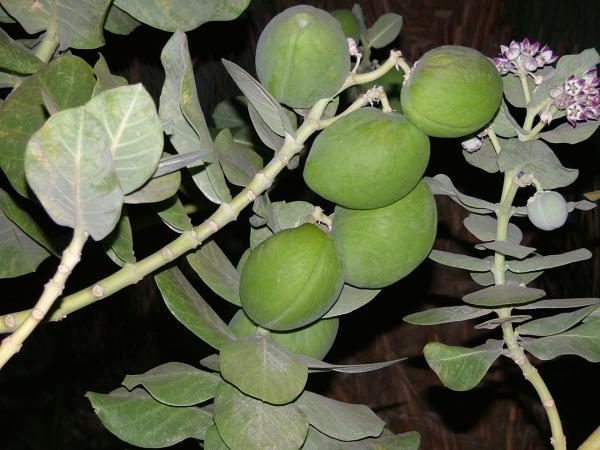 פירות פתילת המדבר בעין גדי