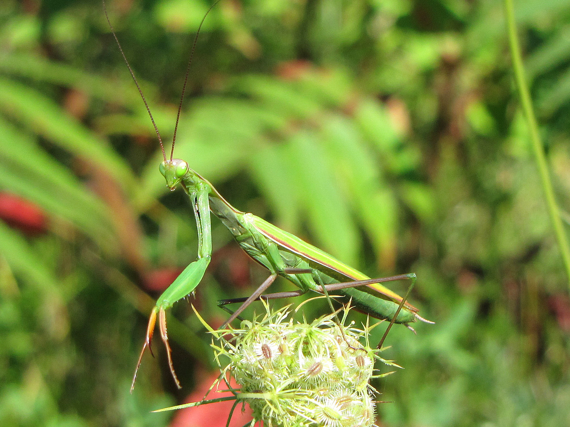 File:Praying Mantis, Ontario.jpg - Wikimedia Commons