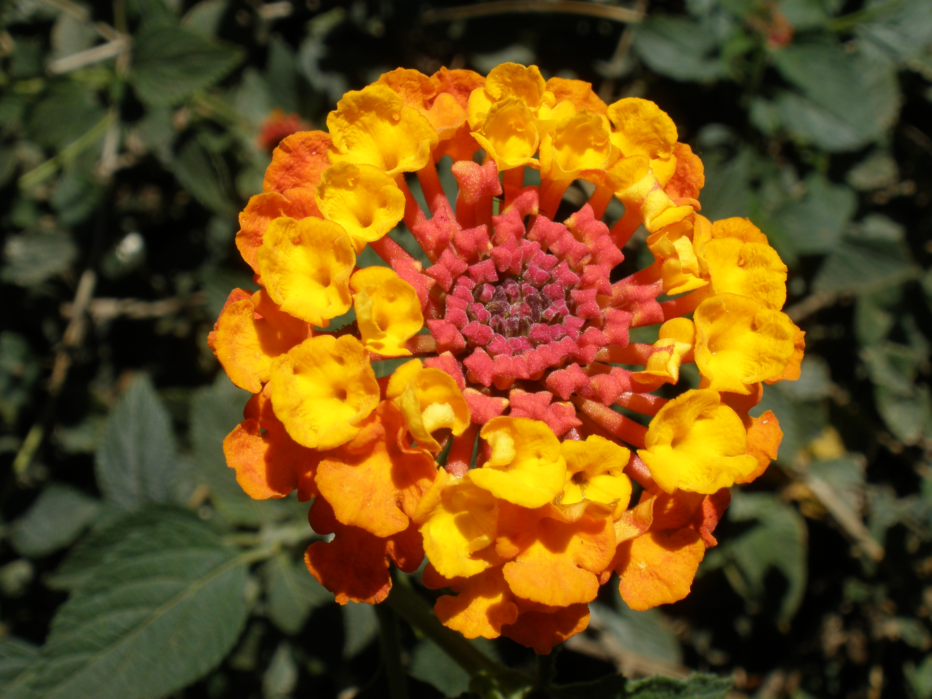 Filered Orange And Yellow Lantana Camarag Wikimedia Commons