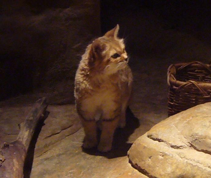 Sand cat.JPG