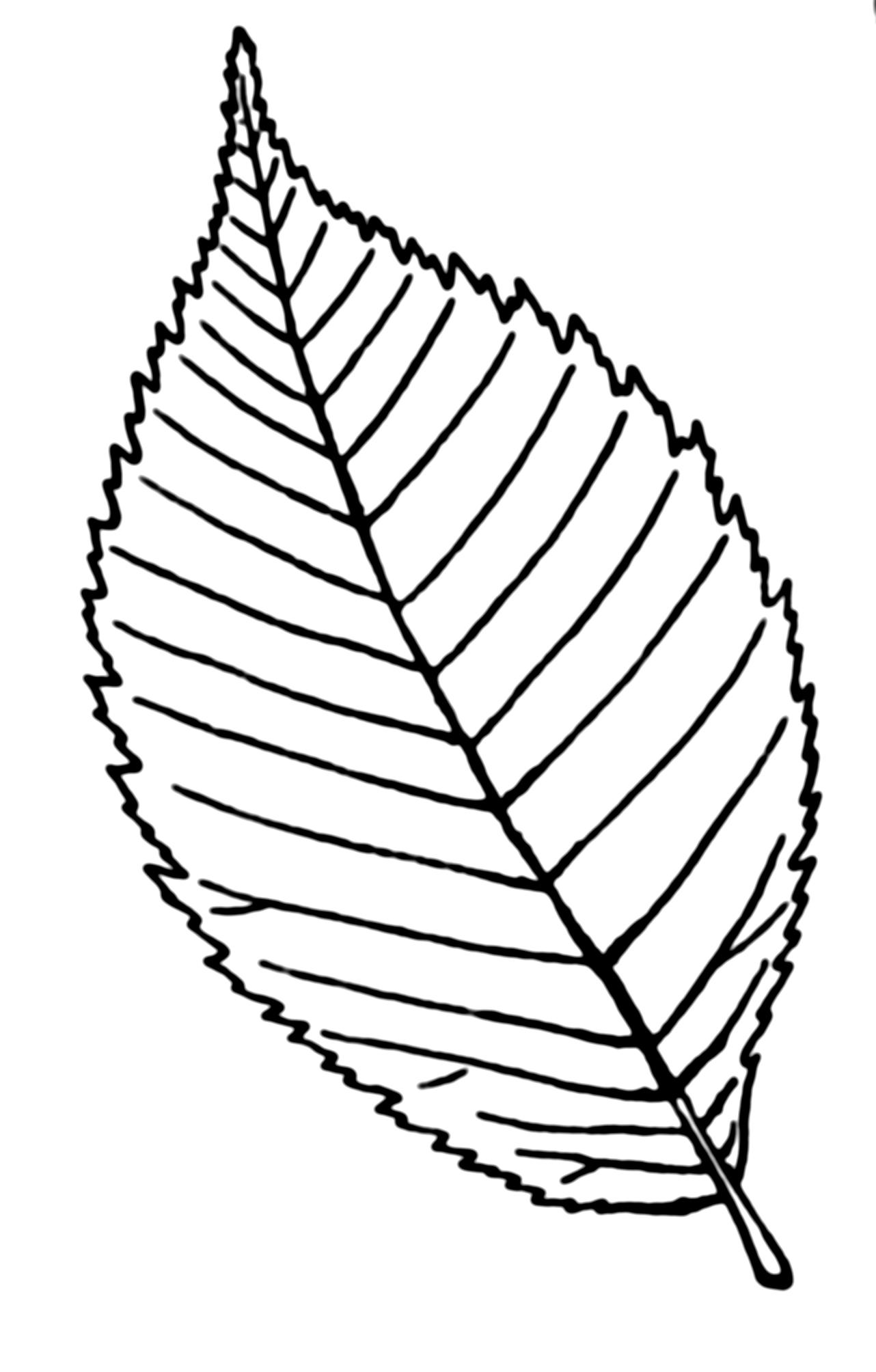 Line Drawing Leaf : File serrulate leaf psf wikimedia commons