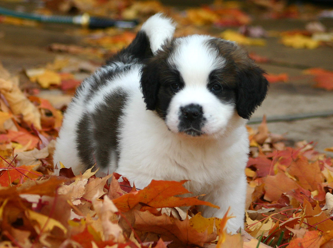 St.Bernard cutiest little puppy