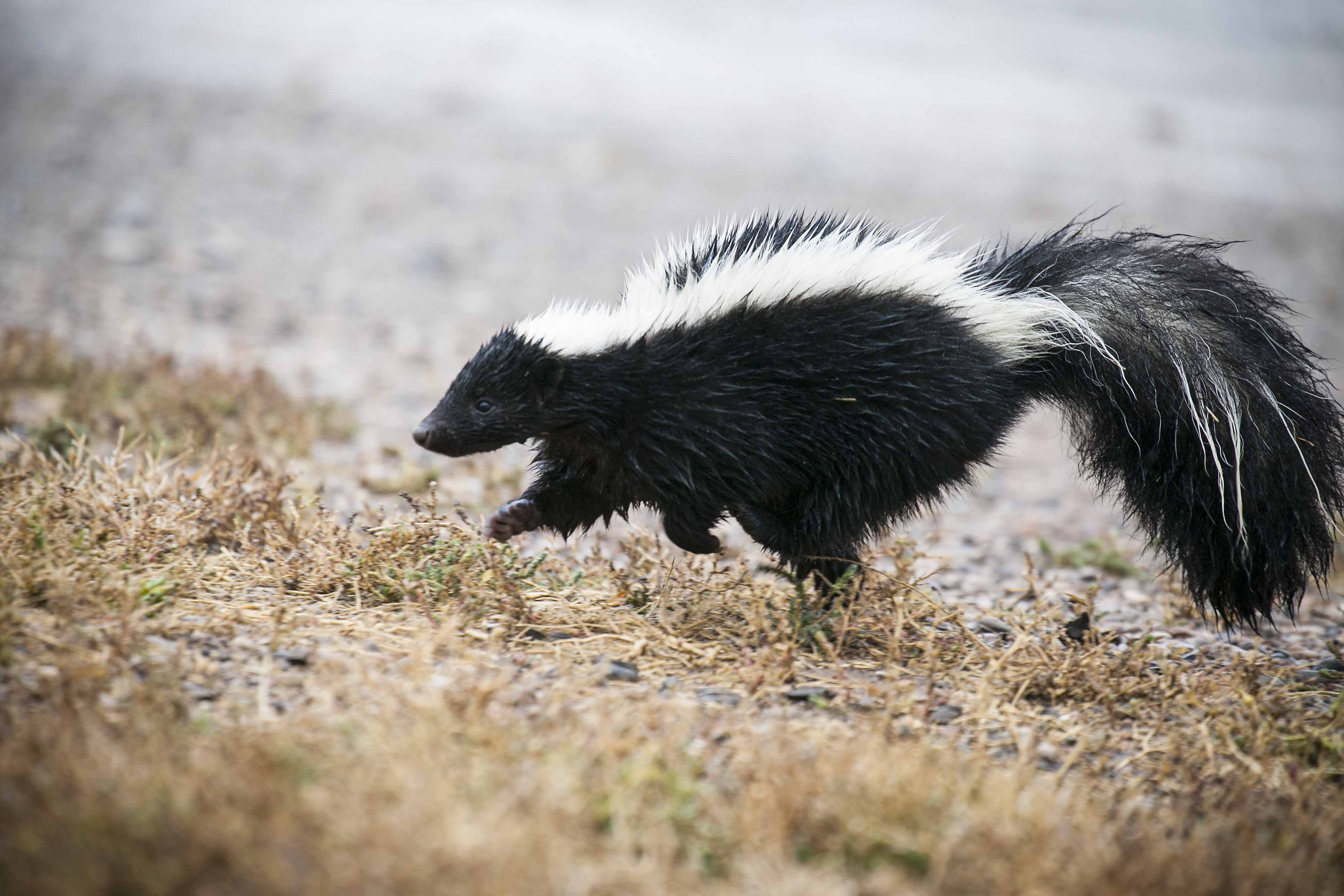 Can A Skunk Spray Be Mistaken For Natural Gas