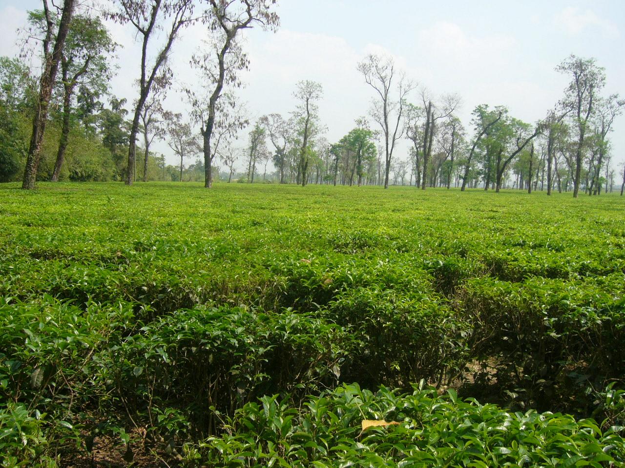 File Tea Garden In Jaflong Sylhet Bangladesh 05 Jpg