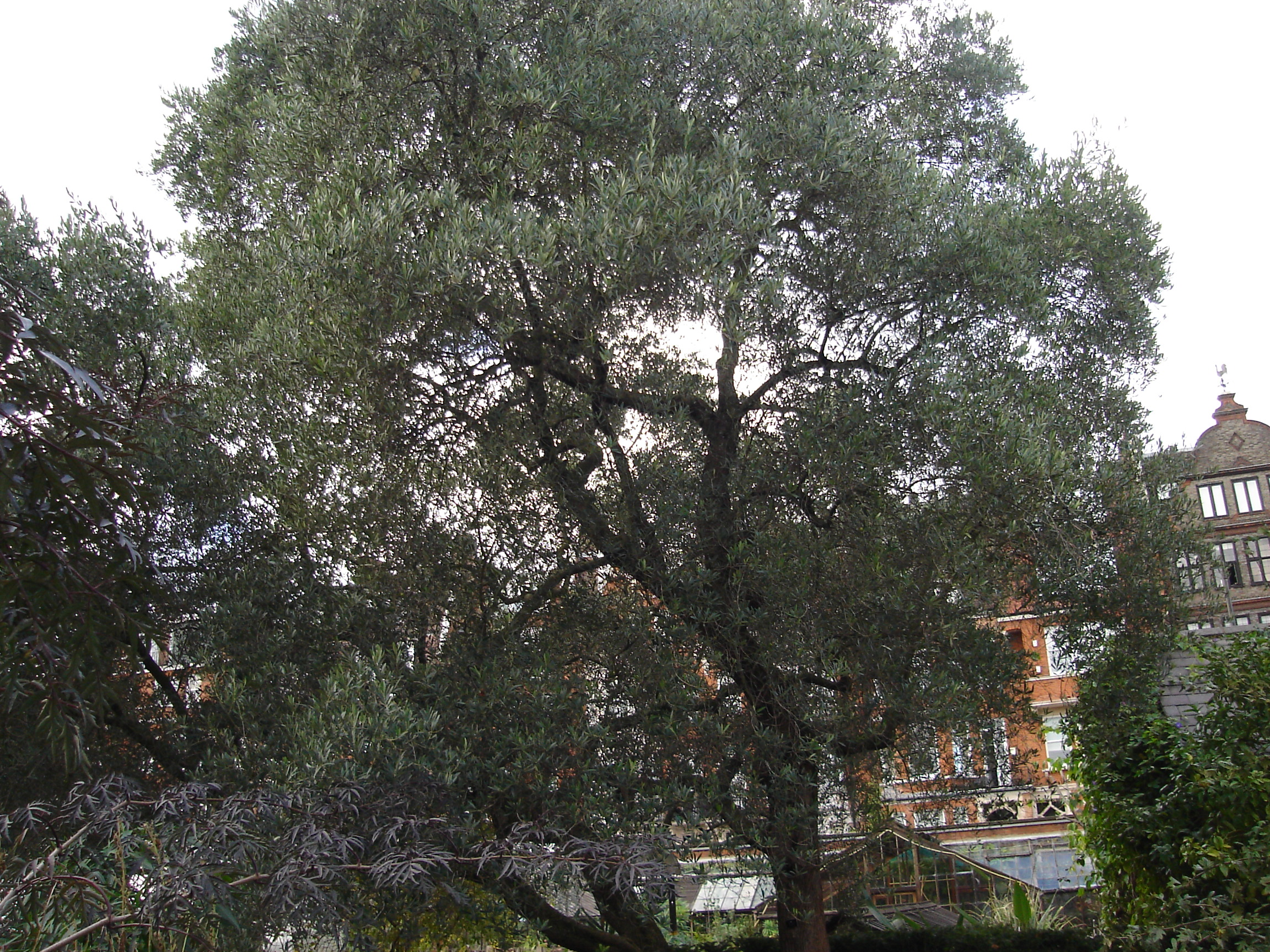File:The Olive tree at Chelses Physic Garden.jpg - Wikimedia Commons
