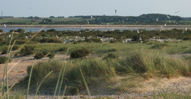 The Tern Colony on Blakeney Point - geograph.org.uk - 491700