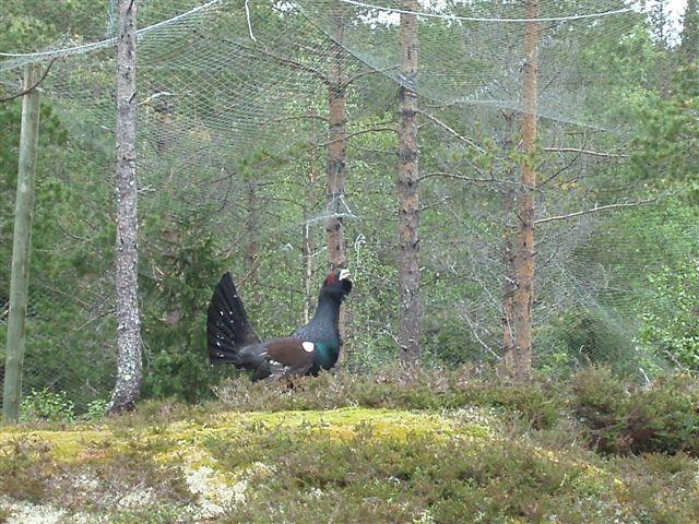 Обыкновенный глухарь в парке живой природы Namsskogan.