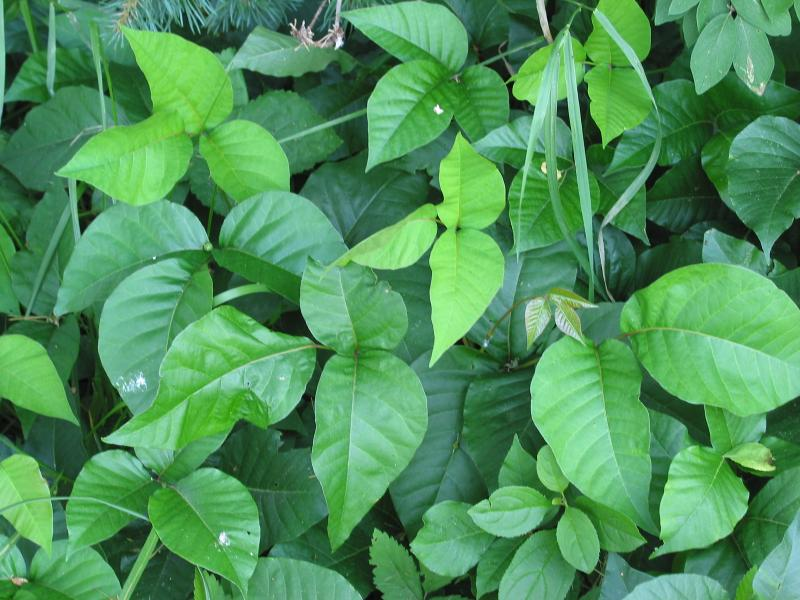 Poison ivy produces urushiol to protect the pl...