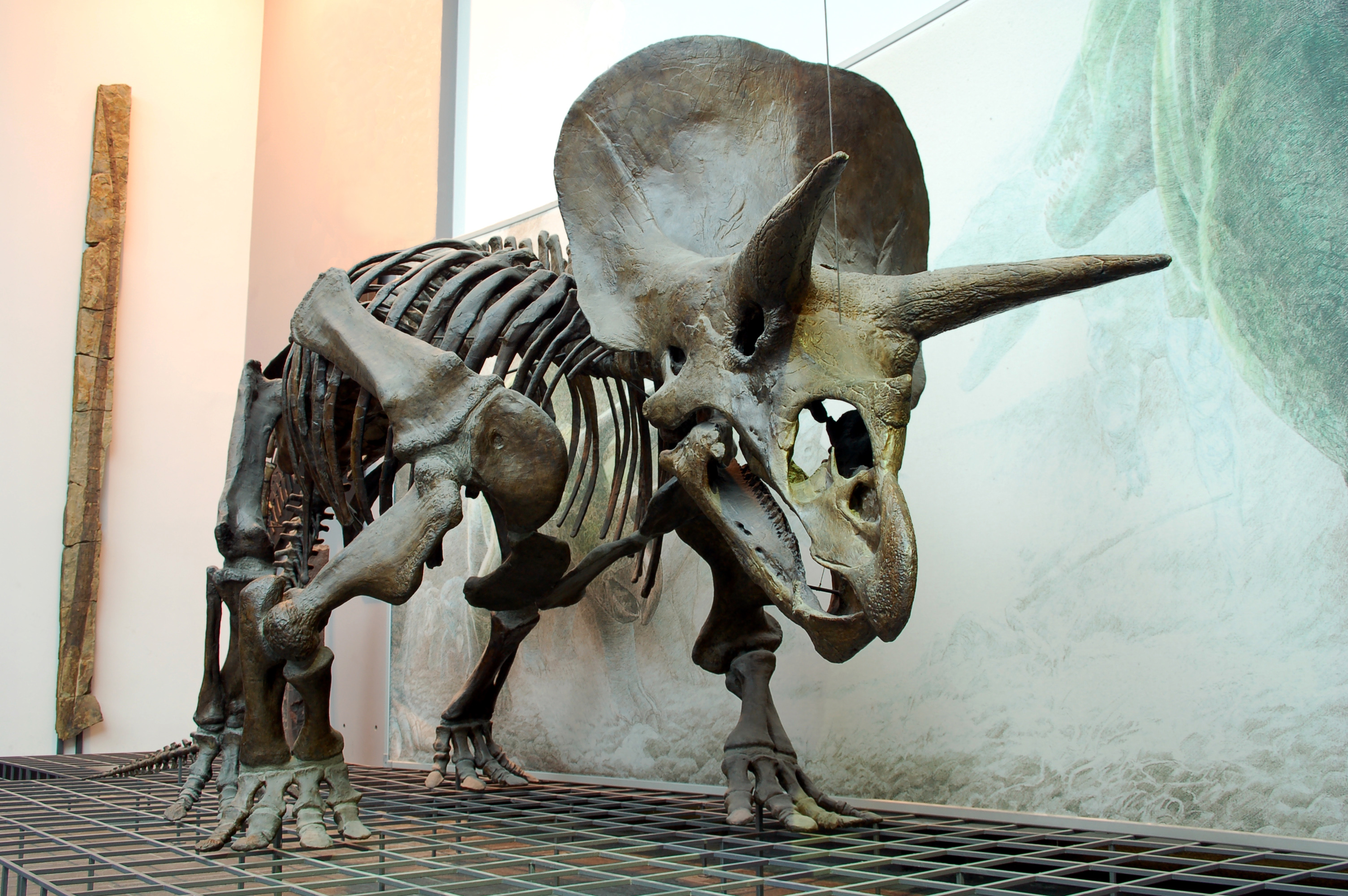 https://upload.wikimedia.org/wikipedia/commons/7/71/Triceratops_Skeleton_Senckenberg.jpg