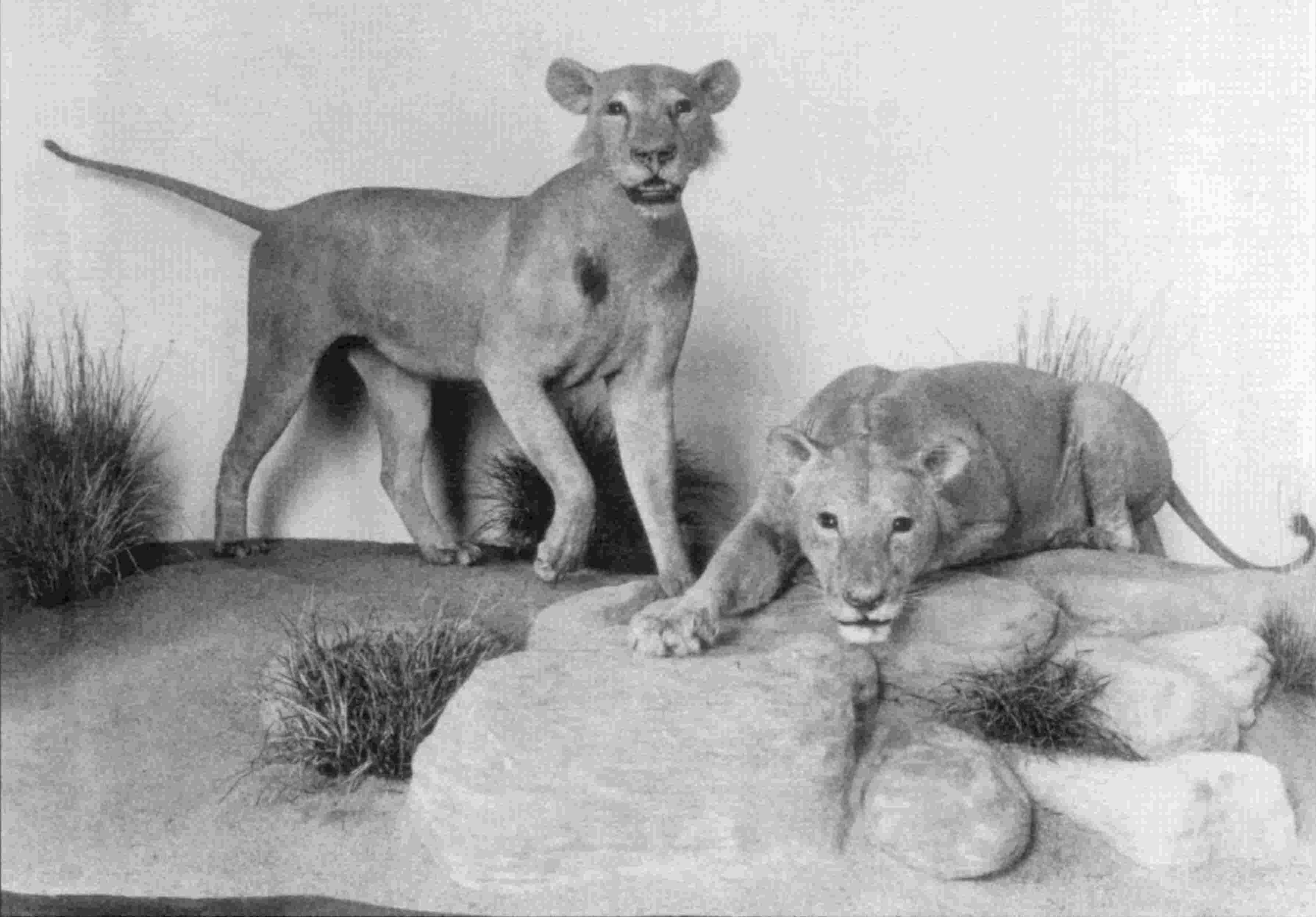 Lions At Field Museum Of Natural History