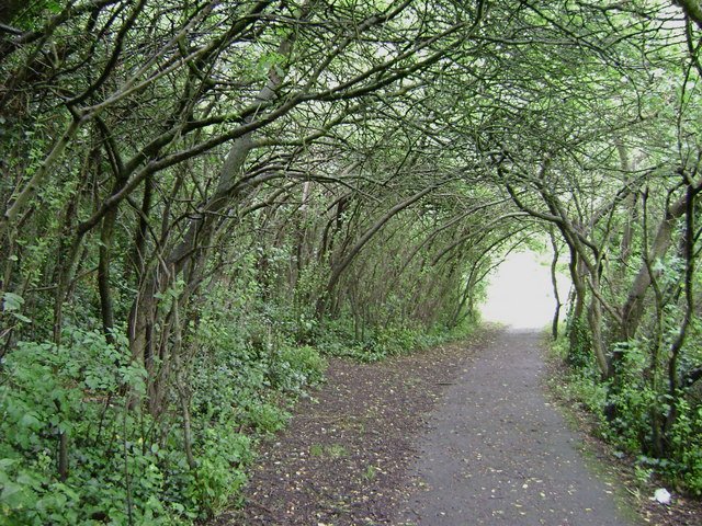 Tunnel of Goat Willow, south-east side of Church Hill, Clevedon - geograph.org.uk - 1351778
