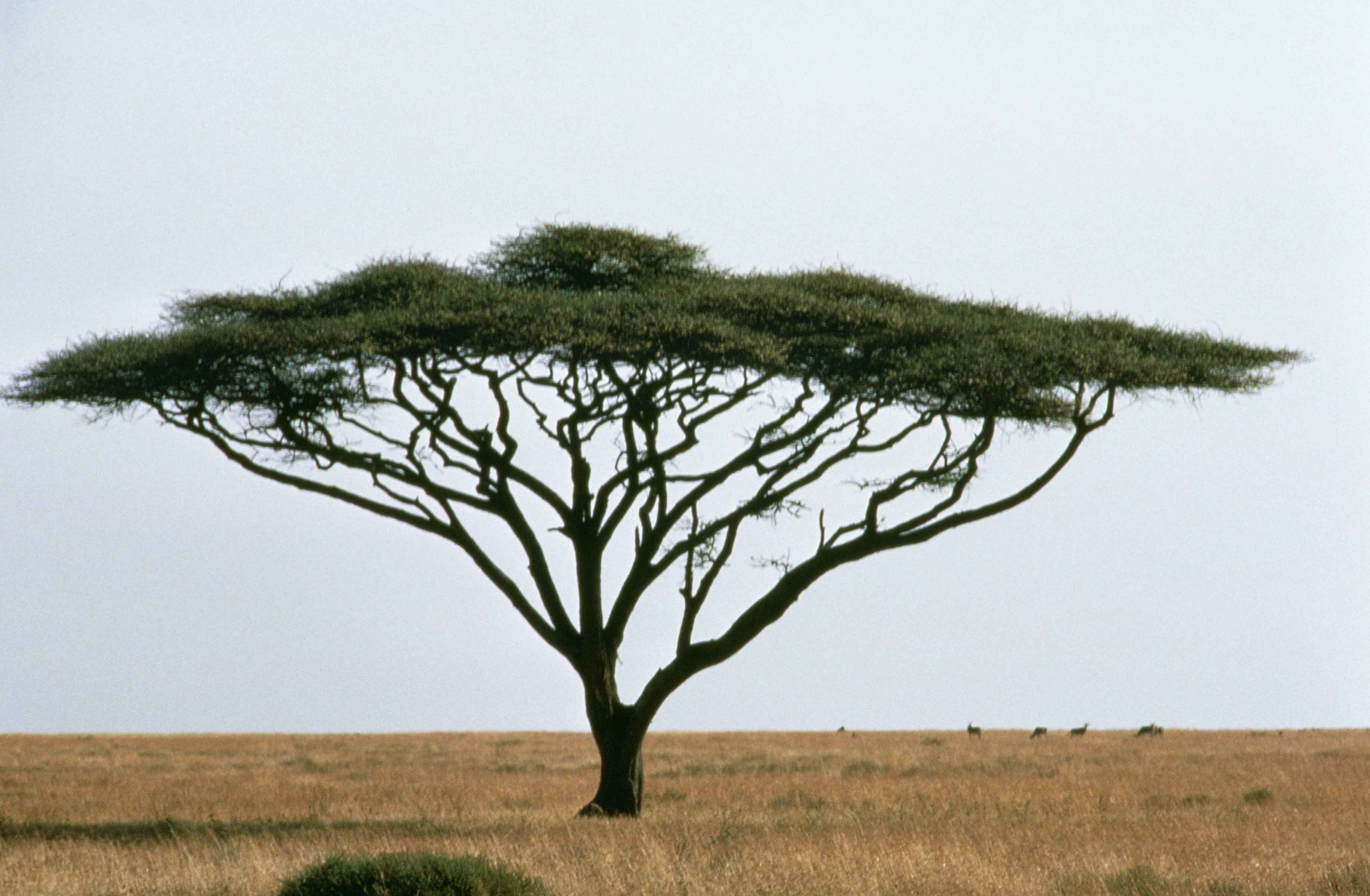 Fileumbrella Thorn Acacia Or Israeli Babool Tree Plant Acacia