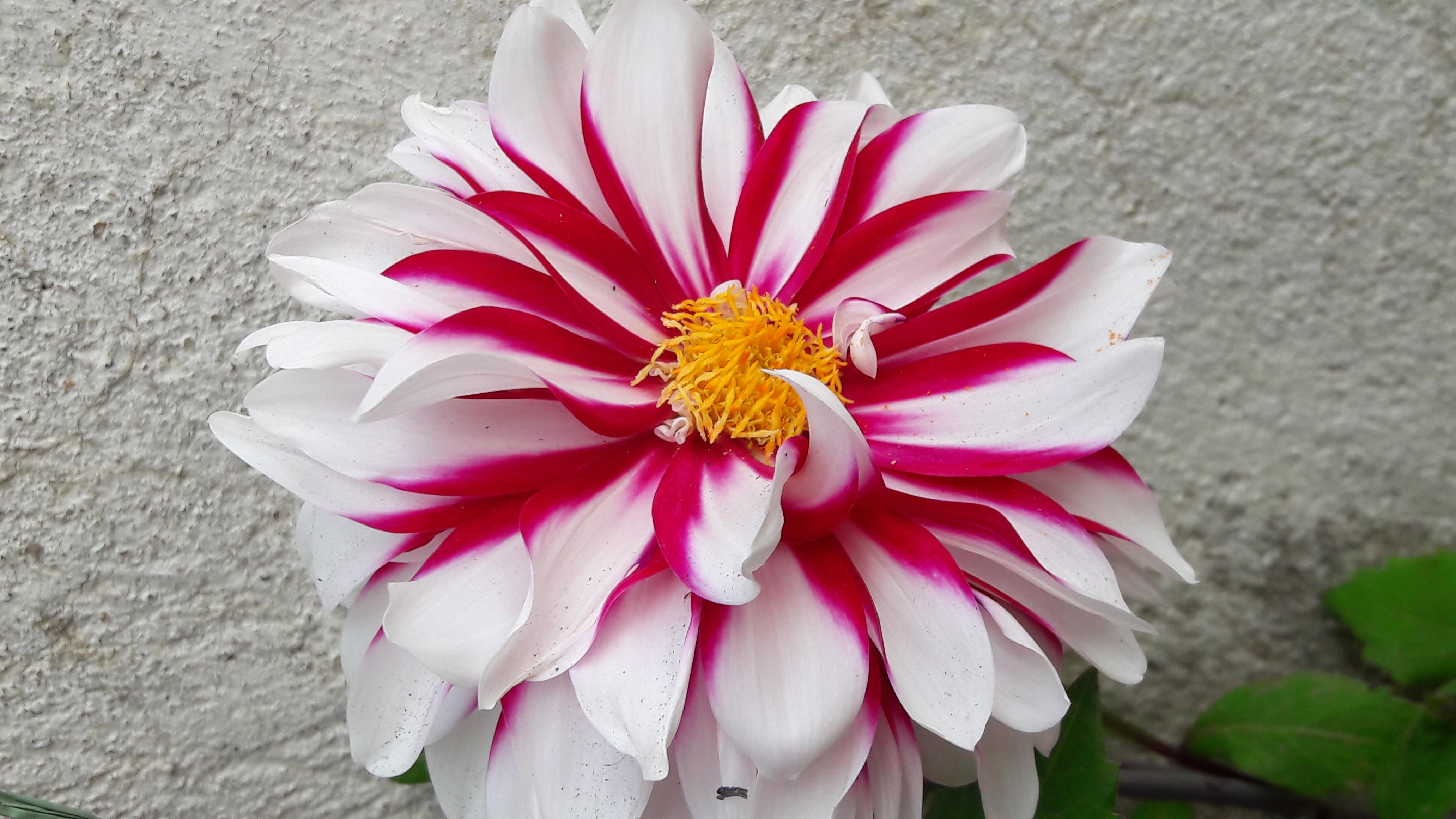 Filewhitish pink dahlia flowerg wikimedia commons filewhitish pink dahlia flowerg izmirmasajfo