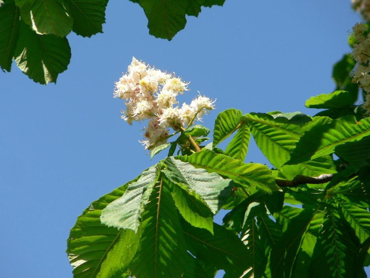 File White chestnut tree flowers Wikimedia mons