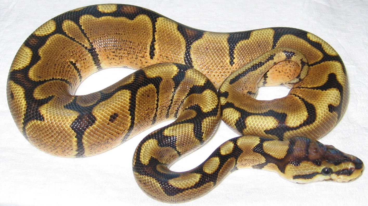 Ball Python Care 44