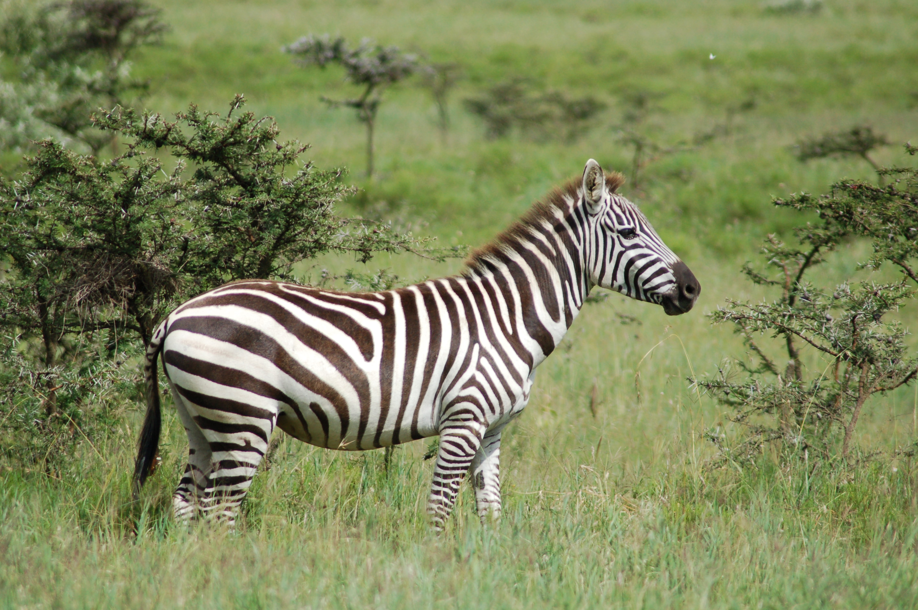 Zebra And Cheetah Bed Sheets