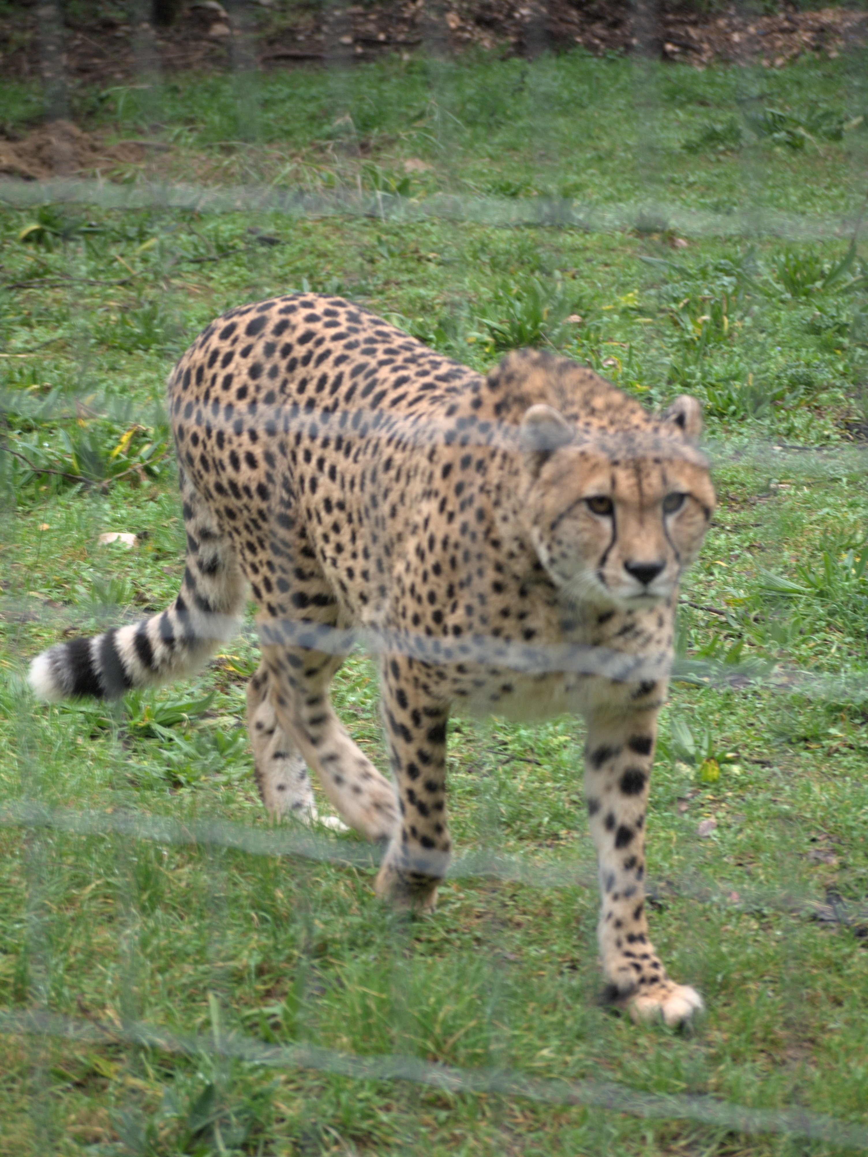 Zoo de Lunaret - Guépard - P1600252.jpg