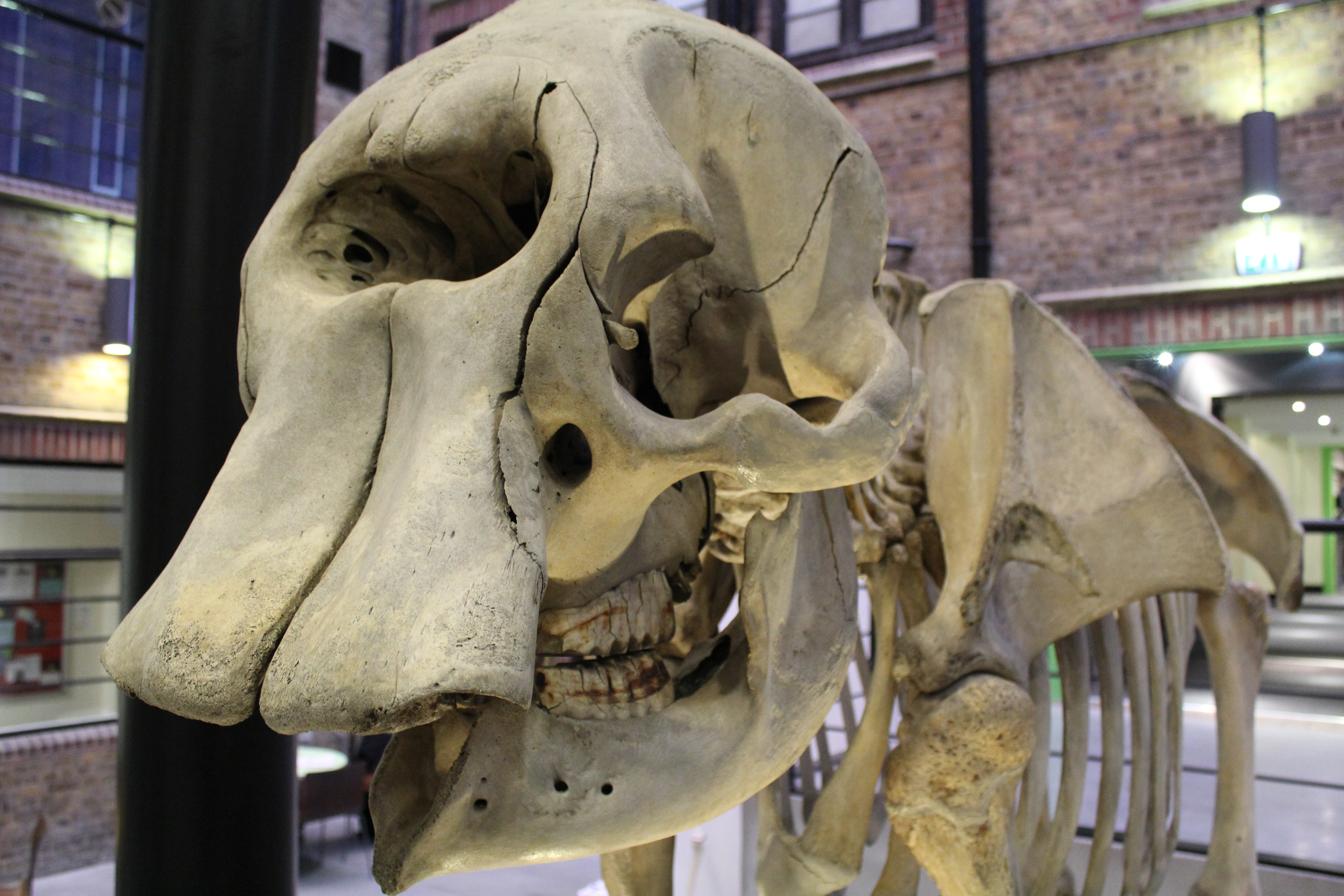 Datei:African elephant skeleton (11) at the Royal Veterinary College ...