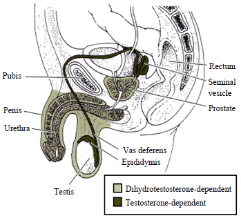 Androgen dependencies of male genital tissues.png