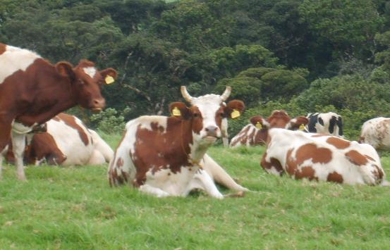 Ayrshire Lehmä