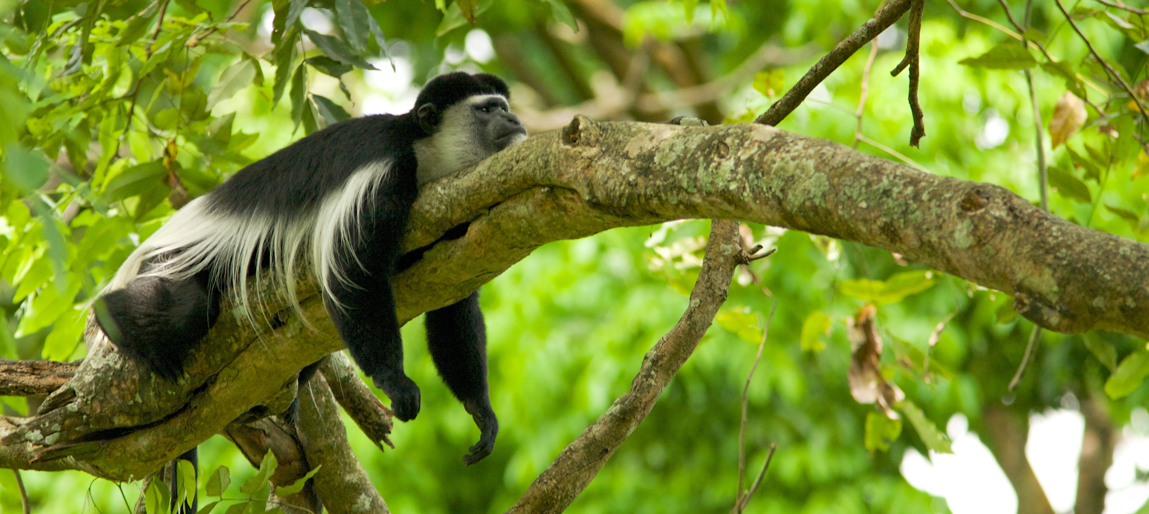 File:Black and white colobus monkey (13945312952).jpg ...