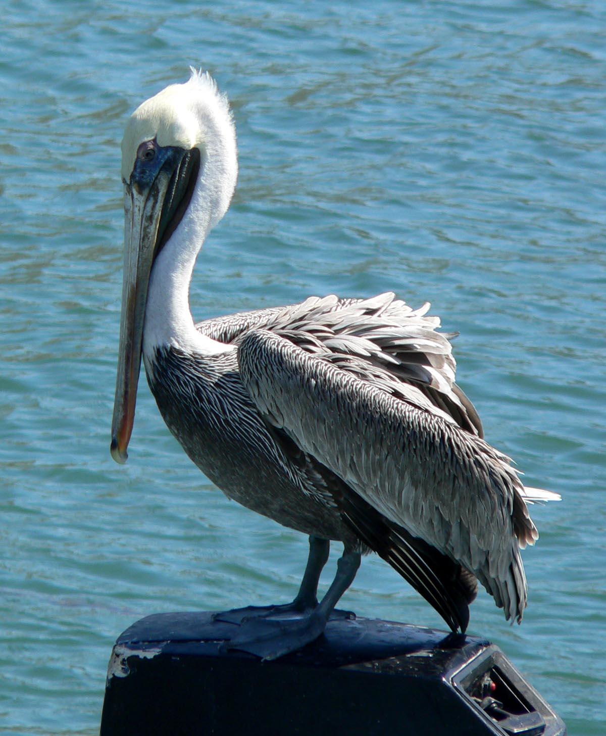 Pelik notvar wikip dia - Fotos de pelicanos ...