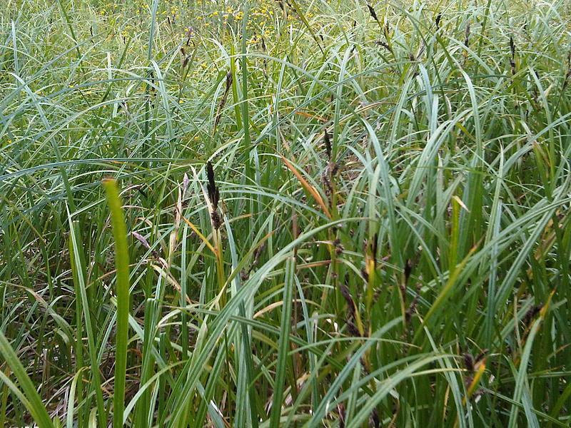 File:Carex sp. - wetland 1.jpg - Wikimedia Commons
