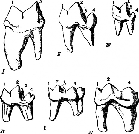 At What Age Do Baby Teeth Normally Fall Out as well Post teeth Diagram Labeled 15786 together with Post oral Cavity Blank Anatomy Worksheets 623203 in addition Dentistry Illustrations Flash Cards likewise Dental  pare. on tooth diagram