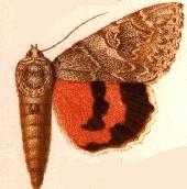 Catocala repudiata.JPG
