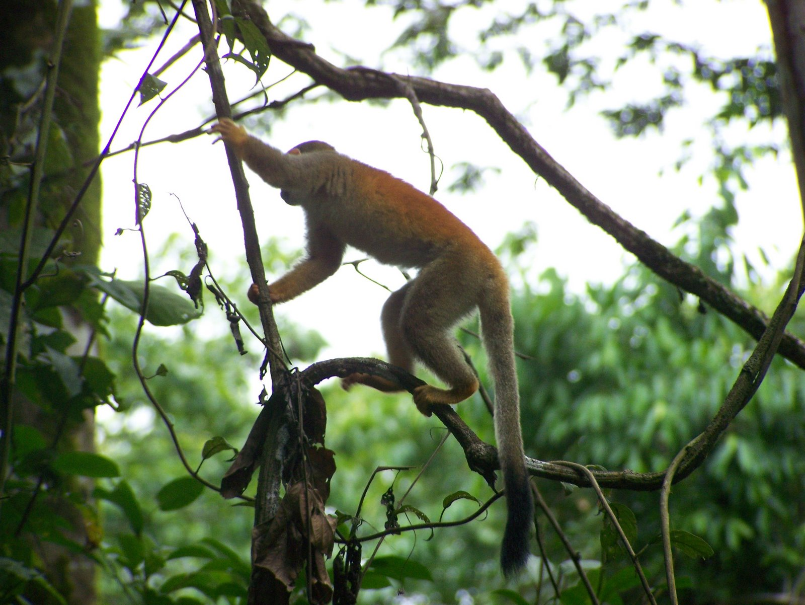 free downloading pics of squirrel monkey wiki