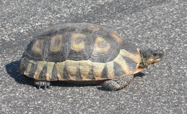 Soubor:Chersina angulata tortoise.jpg
