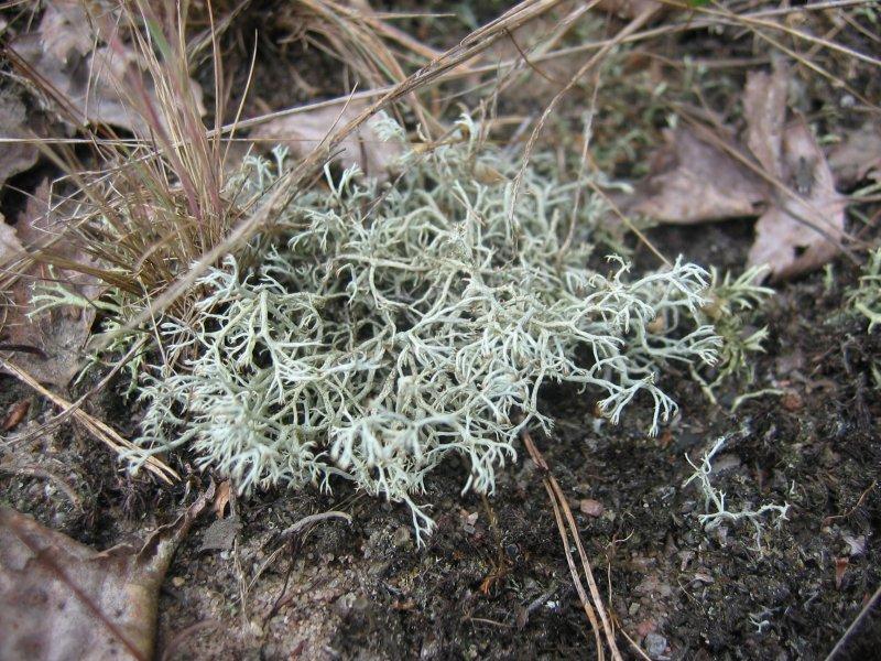 Dutohlávka sobia - rastie na lesnej pôde