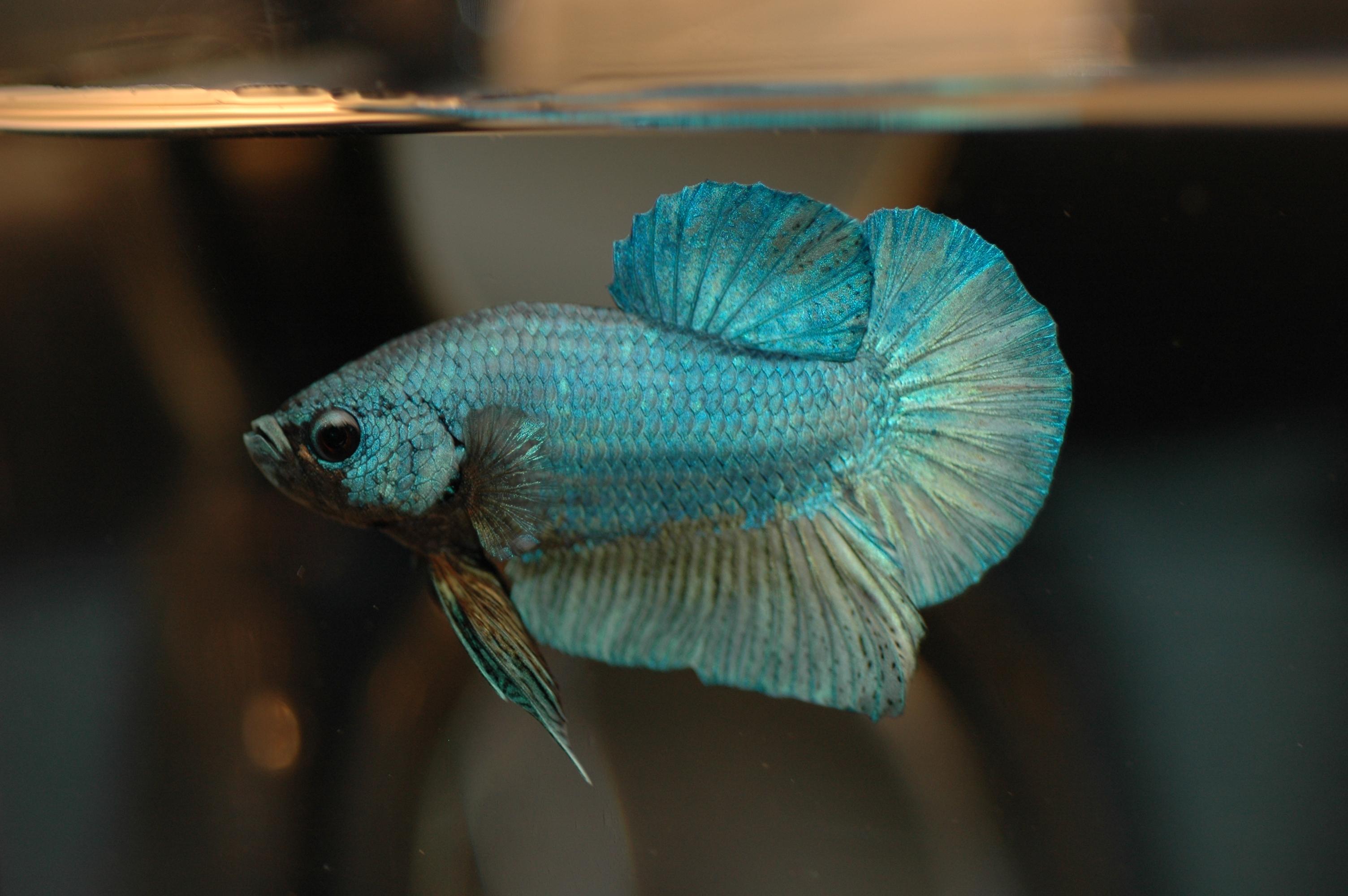 File dvj betta splendens wikimedia commons for Kampffisch betta splendens