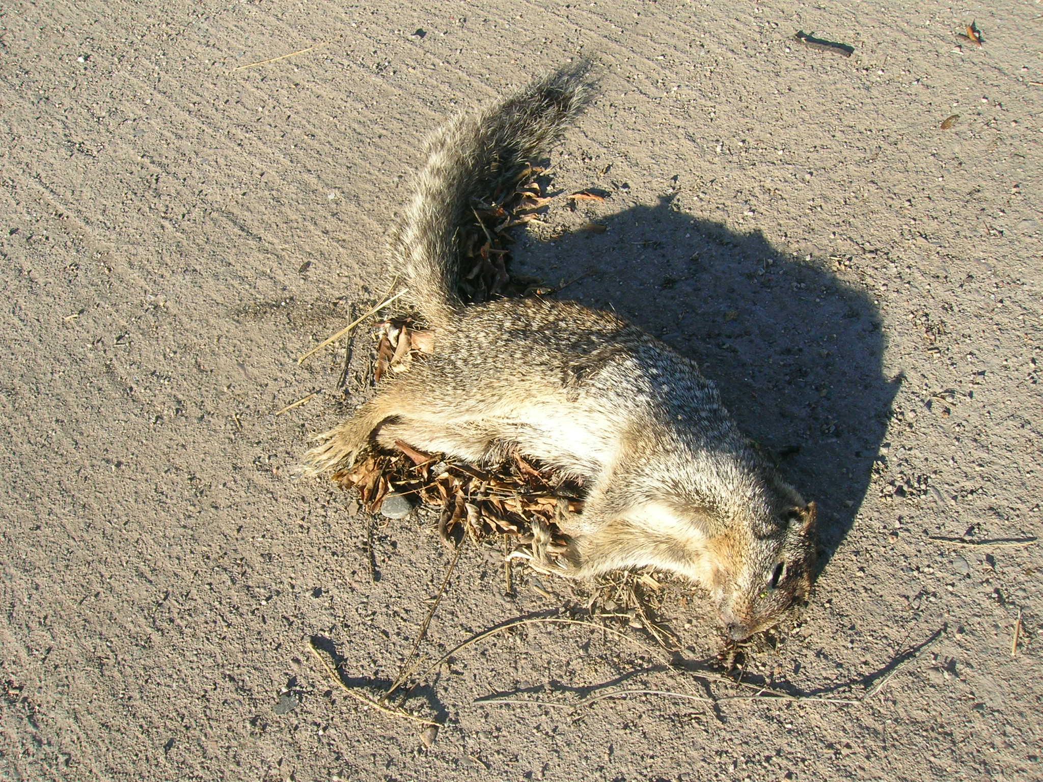 File Dead squirrel jpg...