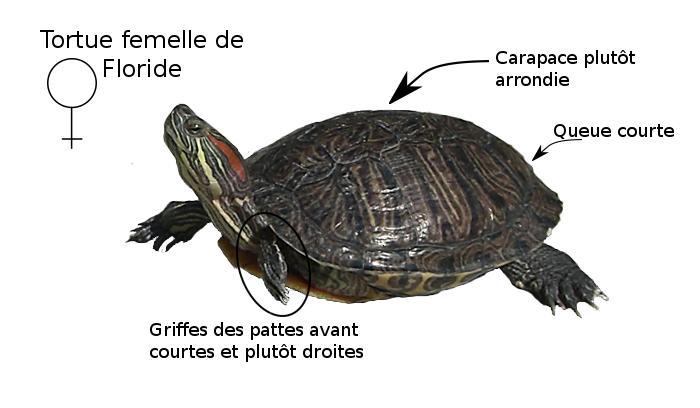 Fiche tortue de floride - Bassin tortue floride strasbourg ...
