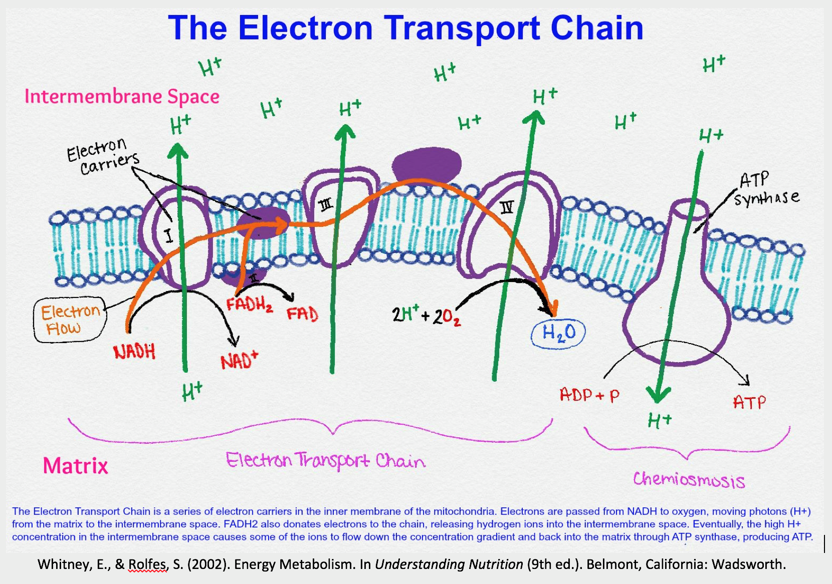 Fundamentals of Human Nutrition/Electron transport chain ...