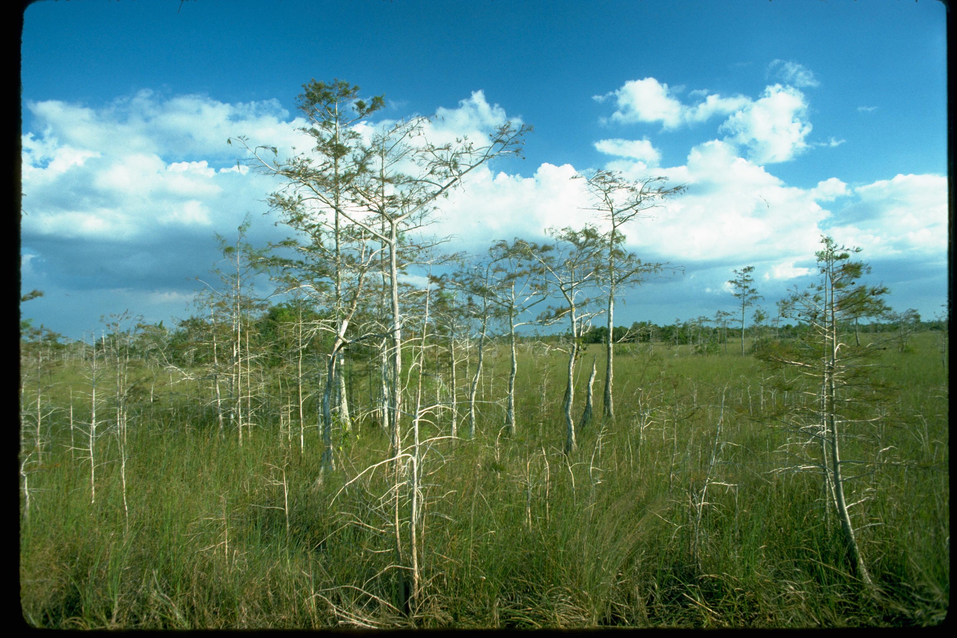 Mahagonibäume  File:Everglades National Park EVER1646.jpg - Wikimedia Commons