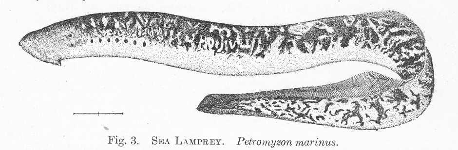 FileFMIB 51328 Sea Lamprey Petromyzon Marinusjpeg