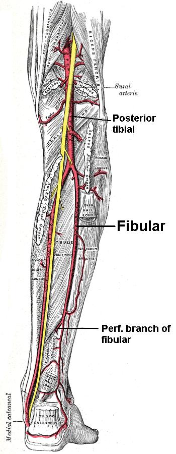 Arteria fibular - Wikiwand