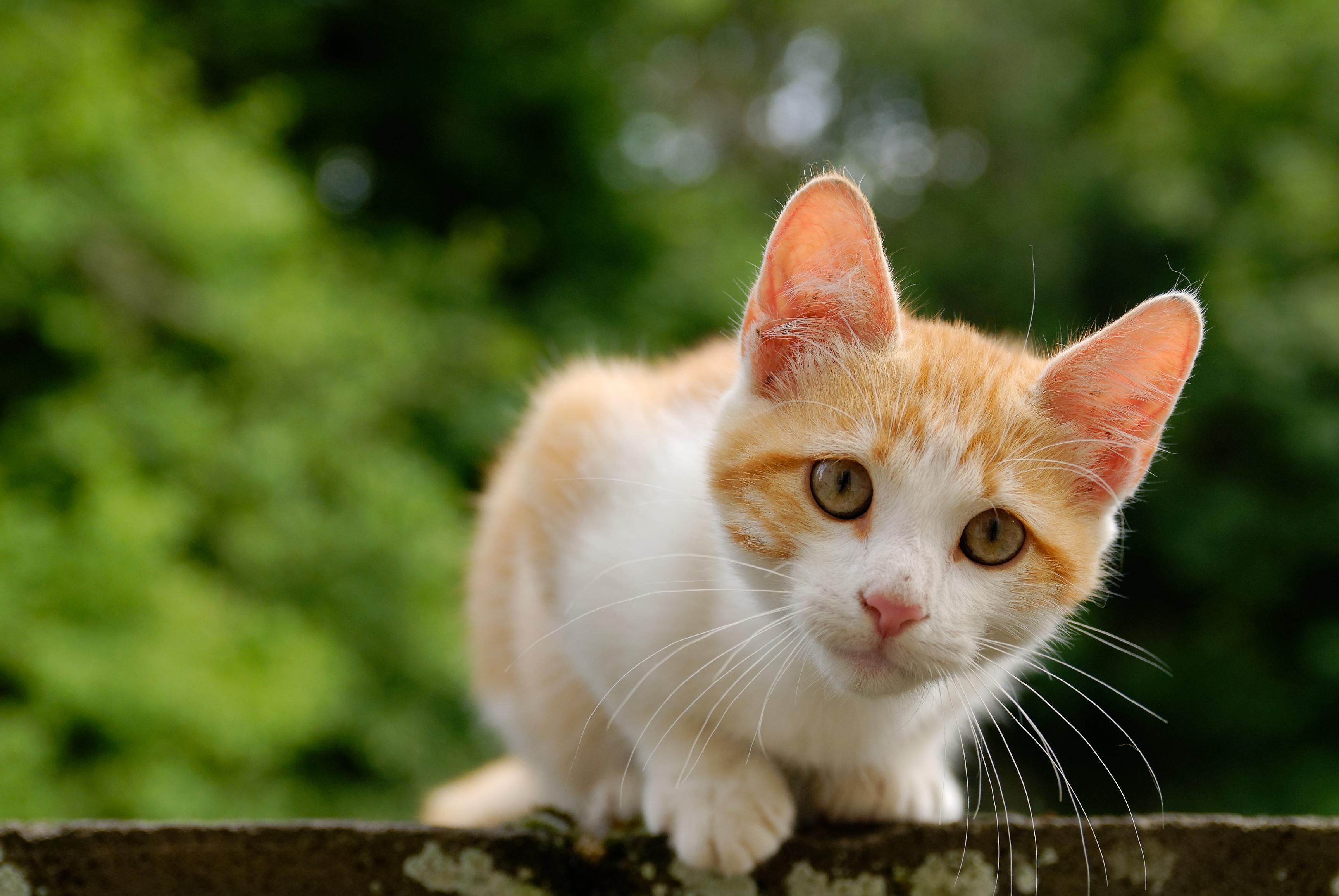 File golden tabby and white kitten - Chat orange ...