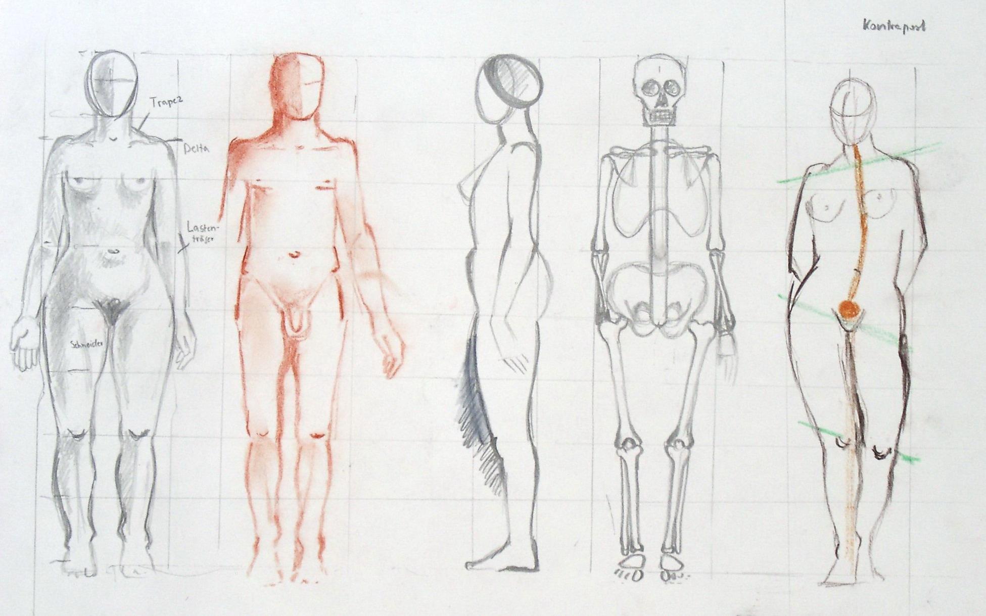 Filehuman Body Proportionsg Wikimedia Commons