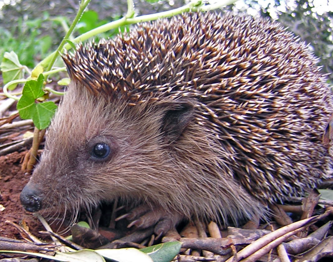 Bad Things About Hedgehogs
