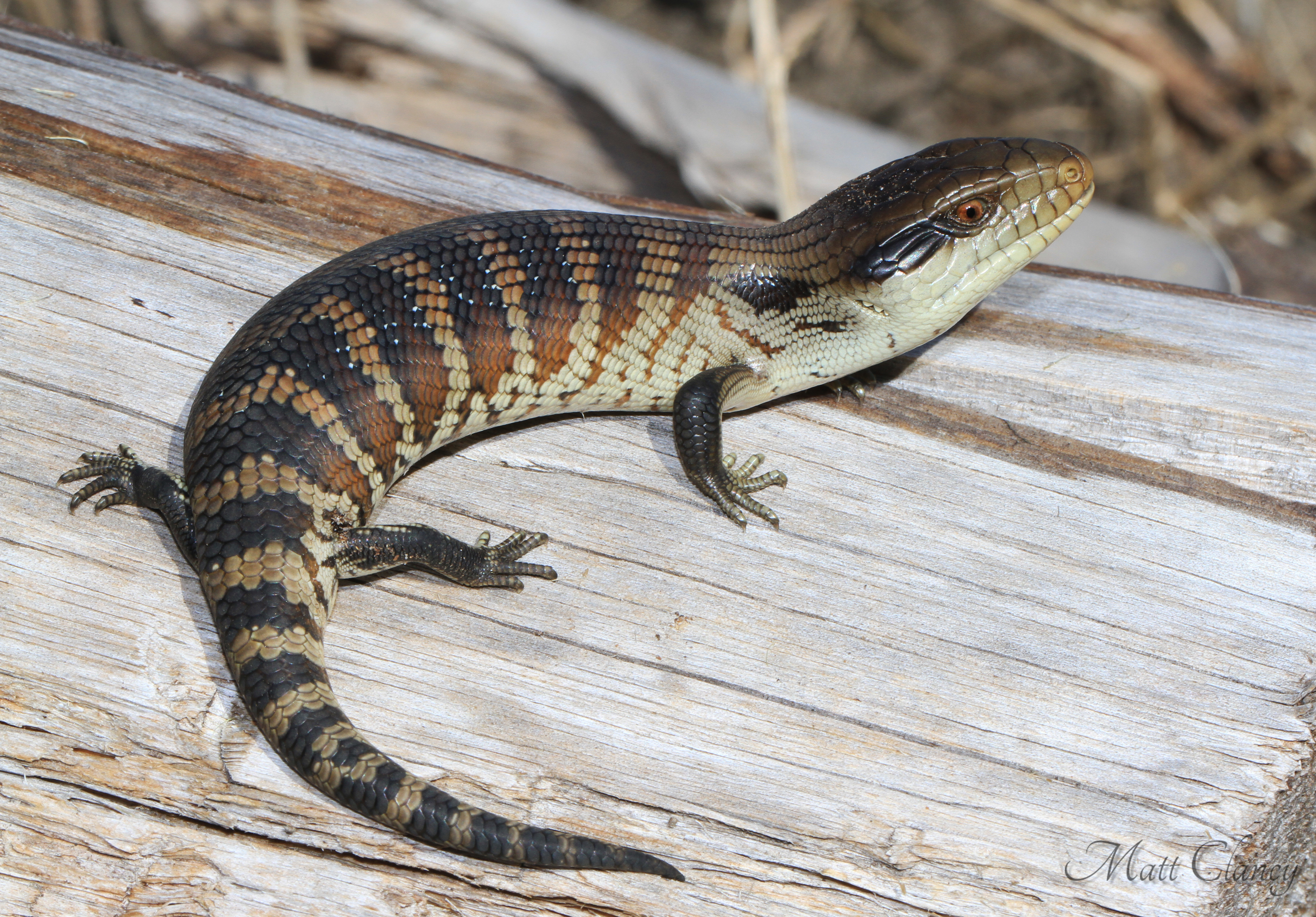 a description of the blue tongued skink The tiliqua complex blue-tongued skinks comprise the australasian genus tiliqua, which contains some of the largest members of the skink family (scincidae)they are commonly called blue-tongued lizards or simply blue-tongues in australia.
