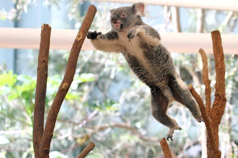 Things to do on a budget - Koala Jumping at LPKS