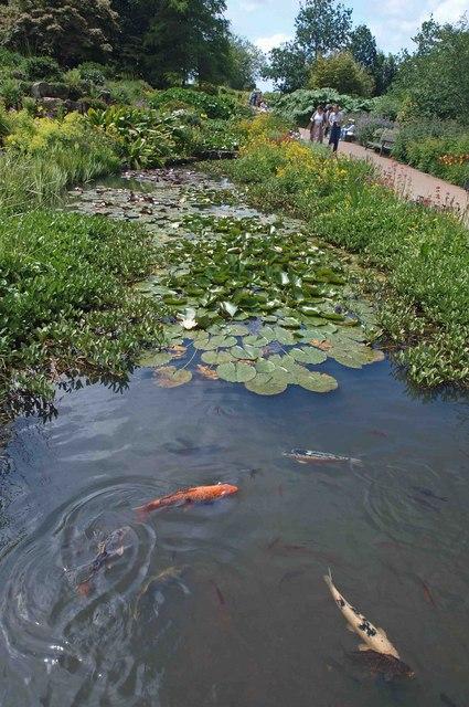 File koi carp in the pond below the rock garden rhs wisley for Koi carp pond size