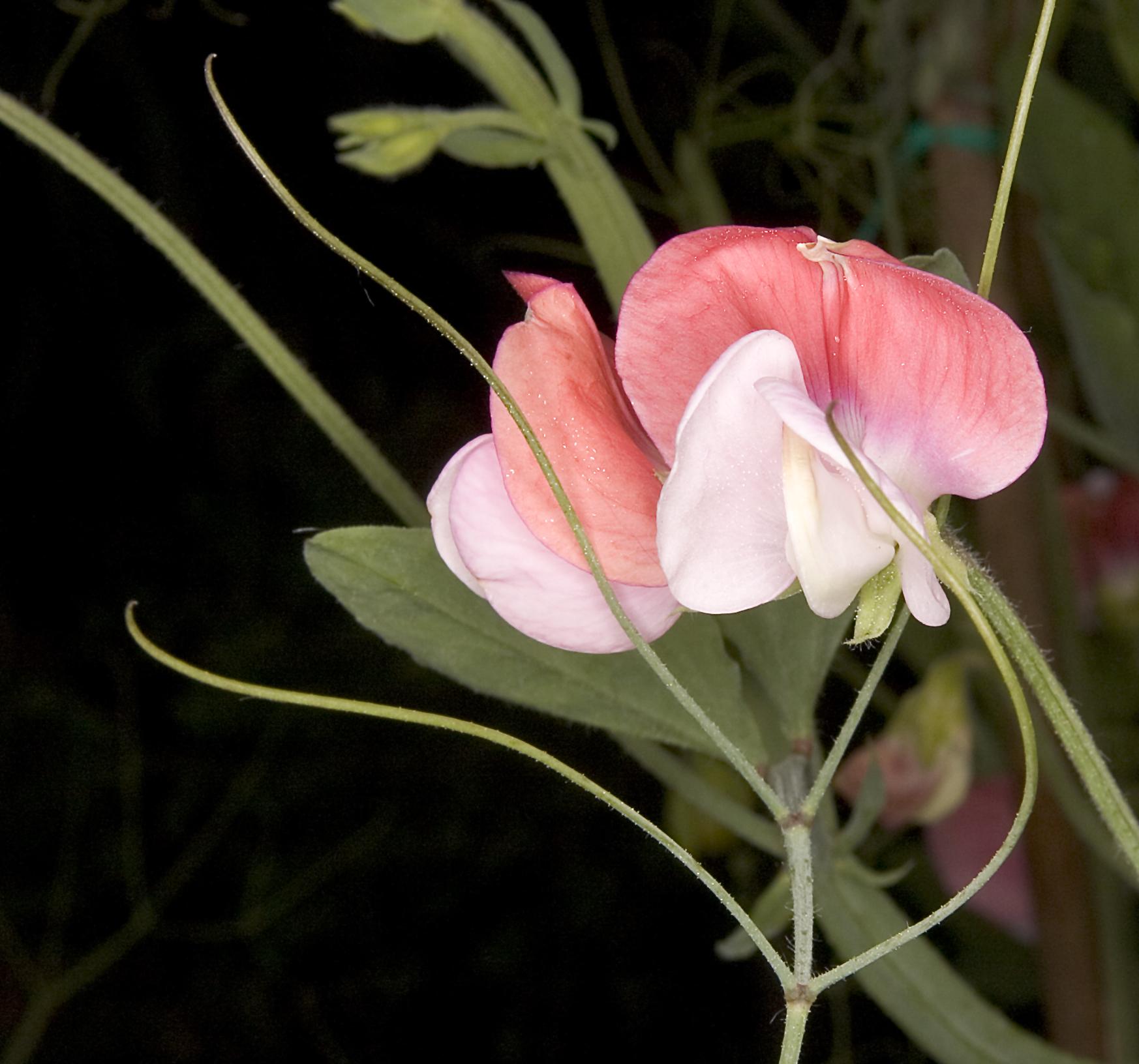 Bezelye çiçeği bezelye çiçeği