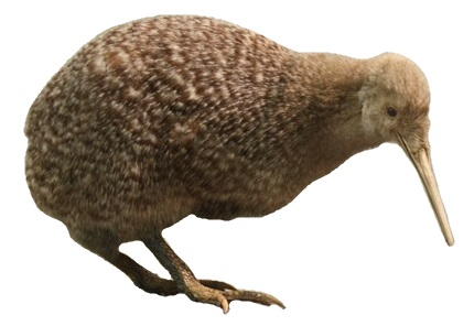 File:Little spotted kiwi, Apteryx owenii, Auckland War Memorial Museum white background.jpg