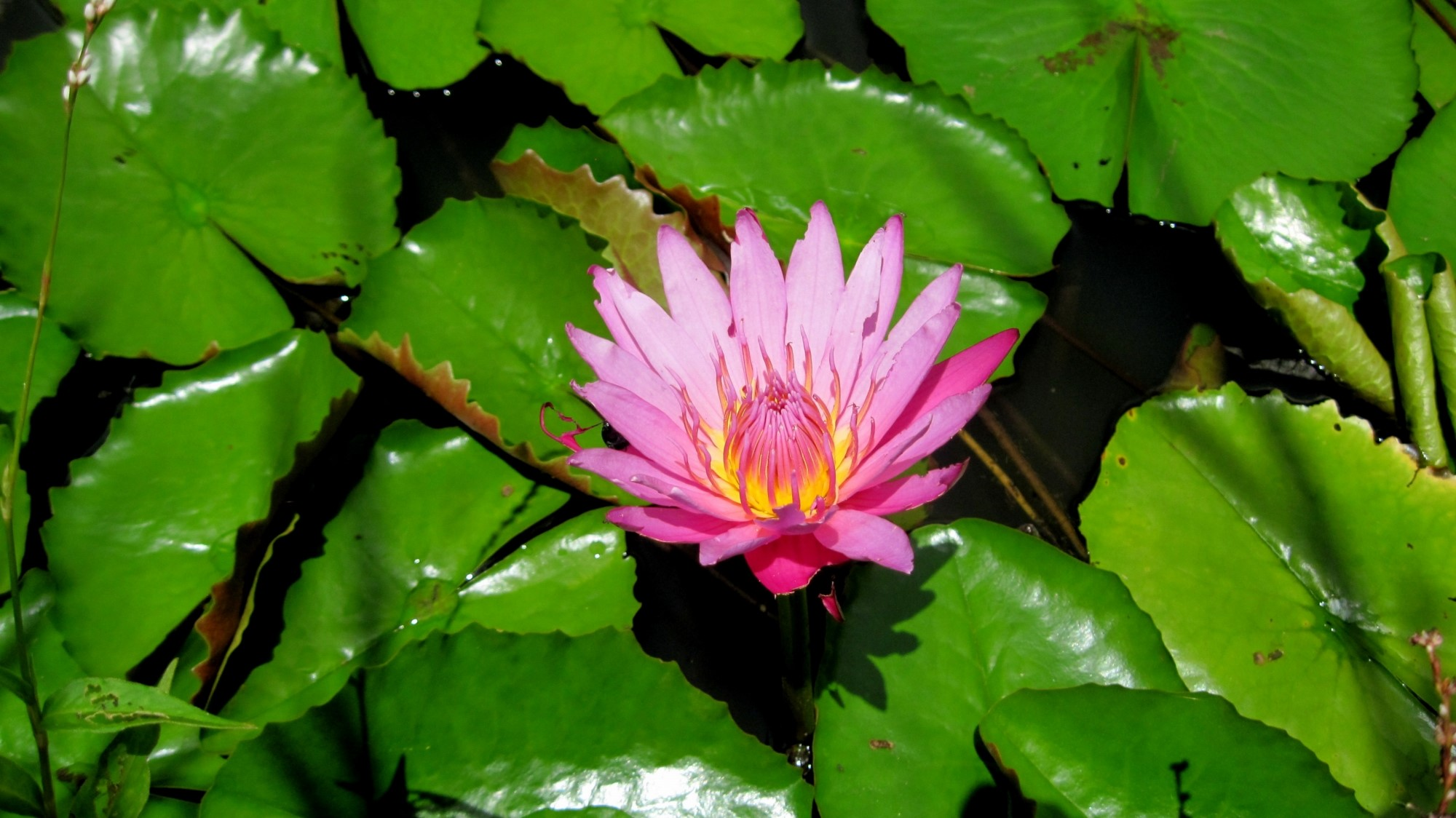 Lotus flower history - File Lotus Flower In Evon Jpg