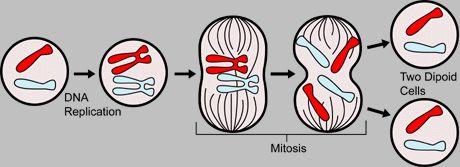 Mitoz Bölünme Animasyonu
