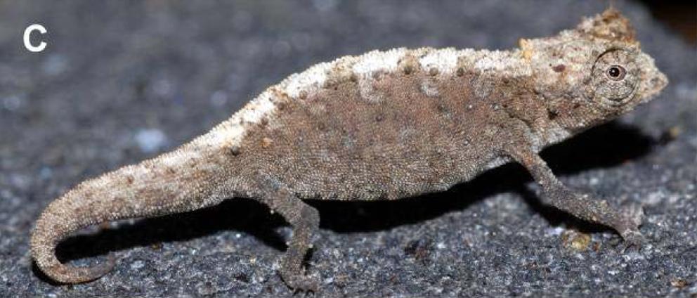 Brookesia confidens - Wikipedia